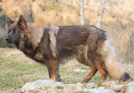 blue sable gold longhaired german shepherd dog