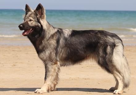 Argenté charbonné - Alys de la légende du loup noir