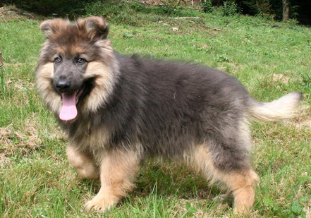 blue german shepherd puppy