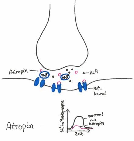 Abb. 4: Synapsengift Atropin
