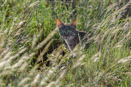 felis silvestris lybica, african wildcat, chat sauvage d'afrique, gato salvaje africano, falbkatze, wildlife of kenya, wildlife of meru national park, carnivores of kenya, Nicolas Urlacher, cat