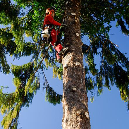Baumpflege mit Rodungen, Fällungen, Baumschnitt und Wurzelstock fräsen