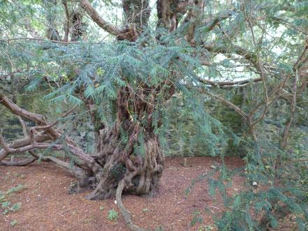 Fortingall Eibe - Der älteste Baum Europas  ?