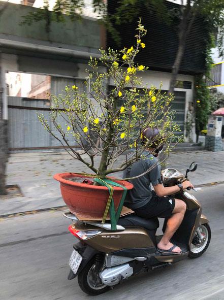 Vietnam-TET-Neujahrsfest-Vorbereitung-Saigon-Moped-tansportiert-Baum in Topf-Helm-kurze Hosen-Badeschlappen-Urlaub ueber TET in Vietnam
