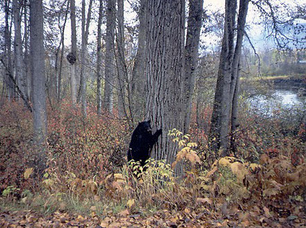 Kispiox River Black Bear