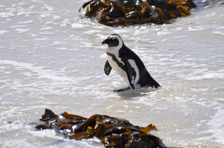 Pinguin Bolders Beach Südafrika