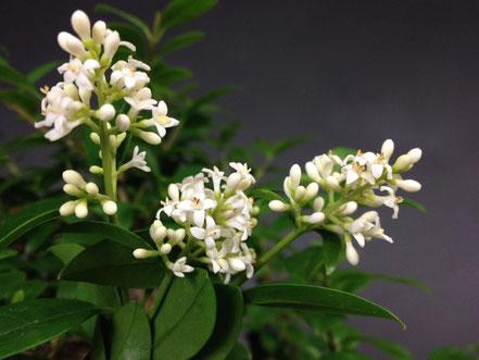 Blüte von Ligustrum, Liguster