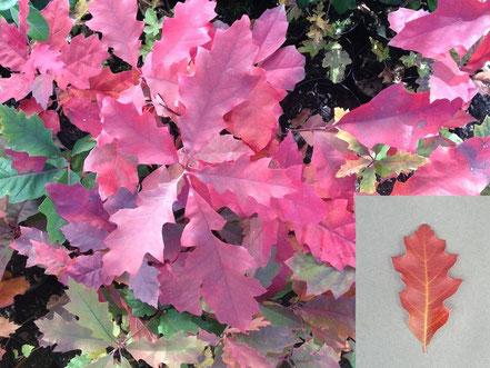 Blatt von Quercus rubra, Roteiche