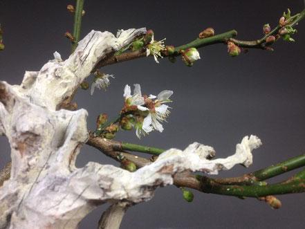 Blüte von Prunus mume, Aprikose