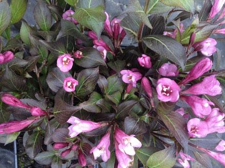 Blüte von Weigela florida, Weigelie