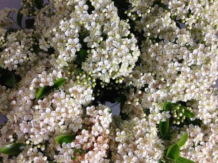 Blüte von Feuerdorn, Pyracantha coccinea