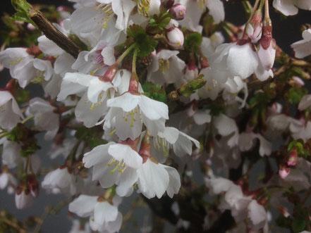 Blüte von Märzkirsche, Prunus incisa Kojou-no-mai