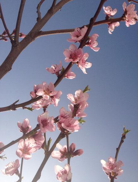 Blüte von Prunus persica, Roter Weinbergpfirsich