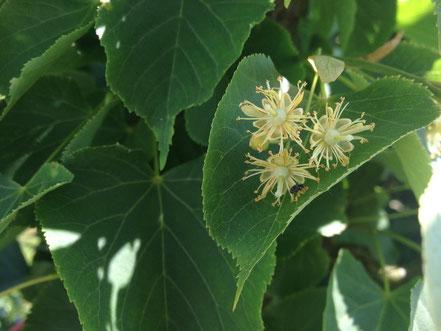 Blüte von Tilia cordata, Winterlinde