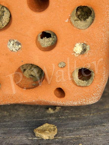 Bild: Nistgang der Gehörnten Mauerbiene, hier ist ein erstes Männchen heute geschlüpft