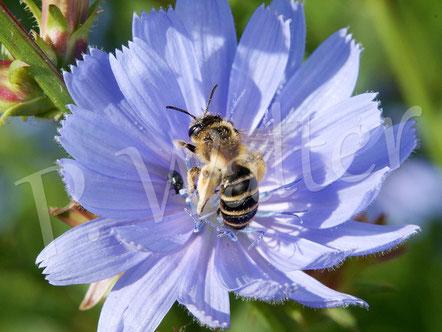 09.07.2016 : Sandbiene (?) an der Blüte einer Wegwarte