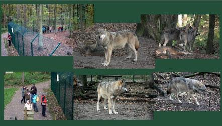 Europäischer Grauwolf  -  Fotos:  M. Bohlen