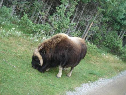 Boeuf Musqué ; nous avons eu le plaisir d'en voir un à l'état sauvage en Norvège