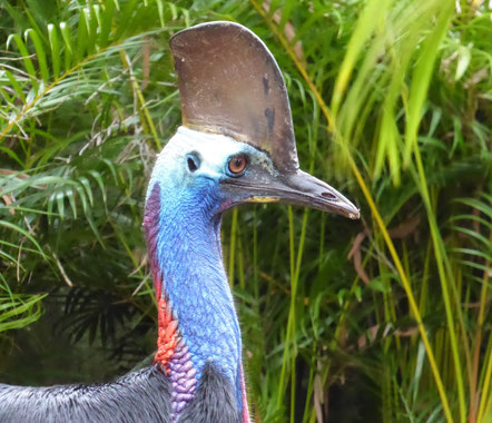 Southern Cassowary on north Queensland coast, south of Cairns