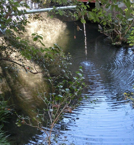 1月20日(2013) 湧水の流れ落ちる池(深大寺境内で1月19日に撮影)