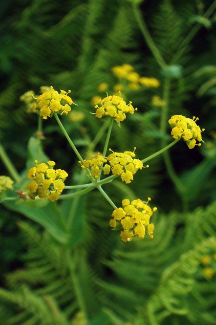 ホタルサイコ  黄色い小さな花を蛍に見立てたそう