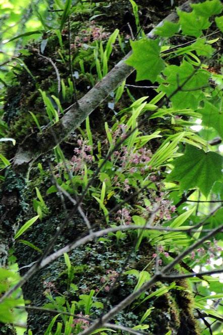 フガクスズムシソウは、大きな古木の高い部分には、たくさん群れていた