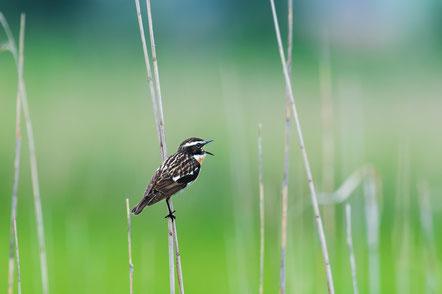 Auch kleine Vögel, wie das Braunkehlchen sind stark vom Artenrückgang betroffen. Foto: M. Thoma
