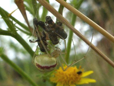 Spider Enoplognatha ovata