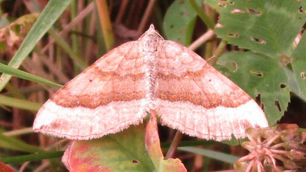 Shaded Broad-bar moth Scotopteryx chenopodiata