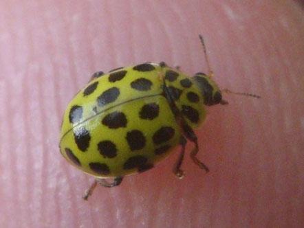 22-spot ladybird Psyllobora vigintiduopunctata, often shortened (for some reason) to Psyllobora 22-punctata.   Also sometimes referred to as Thea 22-punctata