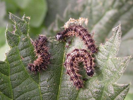 Small tortoiseshell larvae Aglais urticae