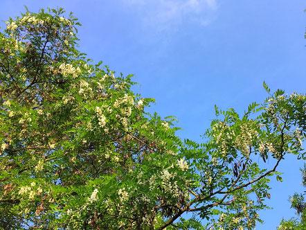 Robinienblüte