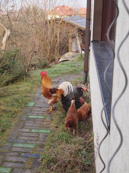 Letzten Sonntag befanden die Hühner, dass ihr Stall zu klein ist und dass sie einen Ausflug brauchen. Daher standen sie plötzlich vor unserer Tür. ^^'