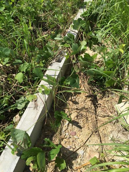 ツル性植物の侵食。ツルを延ばした先で根を張る。
