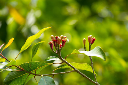 Giroflier - Syzygium aromaticum ou Eugenia caryophyllus - By Erik Jackson - Boutons floraux - Famille botanique : Myrtacée