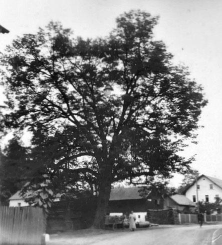 Die Goldmühler Dorflinde auf einer historischen Aufnahme