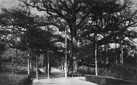 Königseiche mit 16 Stützen, kurz nach 1900, Unbekannt