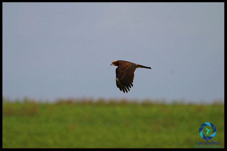 Juvenile Marsh Harrier in flight