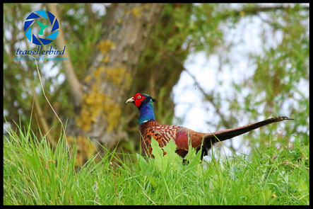 Common pheasant on a hill