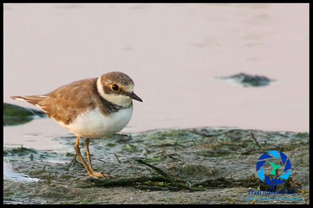 Little ringed plover on a mudfield
