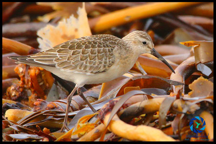 Curlew Sandpiper on leaves
