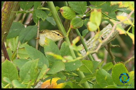 Yellow-browned warbler