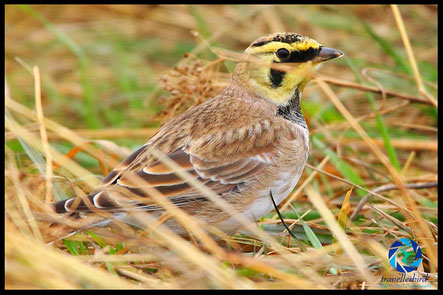 Horned lark on grass