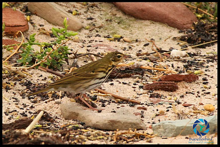 Olive-backed pipit on the beach