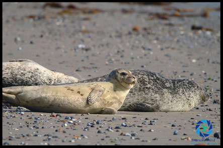 Common seal on the beach