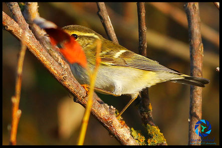 Yellow-browed warbler