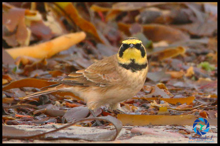 Horned lark on the beach