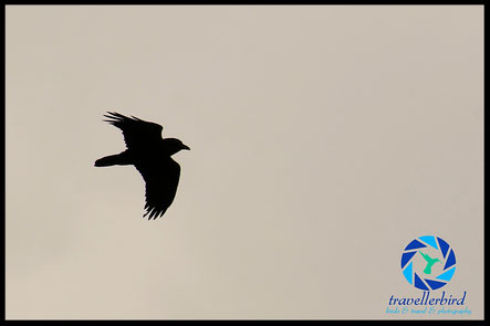 Silouette of a raven