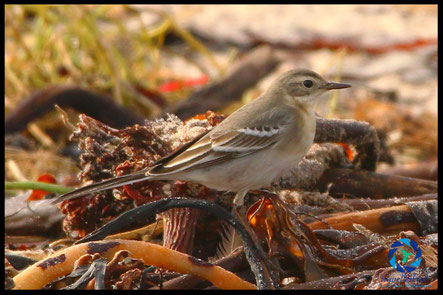 Citrine Wagtail on the beach