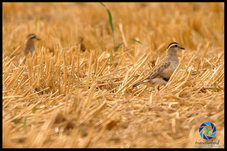 Eurasian dotterel on a field